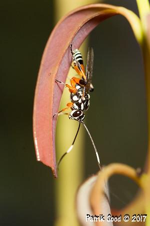 Ichneumon wasp closeup