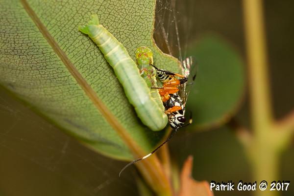 Ichneumon wasp finds head of wiggling caterpillar