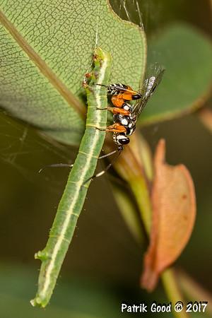Ichneumon wasp sets final blow