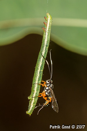 Ichneumon wasp sits on rear of caterpillar