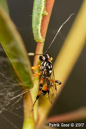 Ichneumon wasp finds caterpillar
