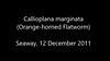 Callioplana marginata (Orange-horned Flatworm)