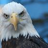 Bald Eagle _01
