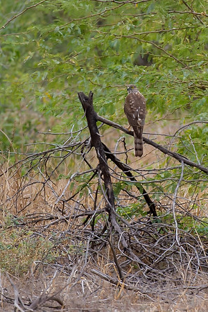 Accipiters, Hawks & Hawk Eagles