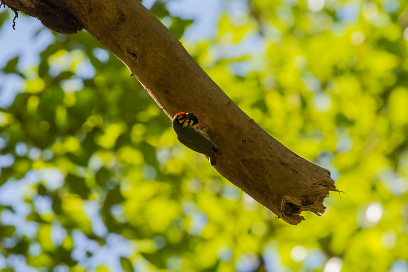 Coppersmith Barbet nest upside down