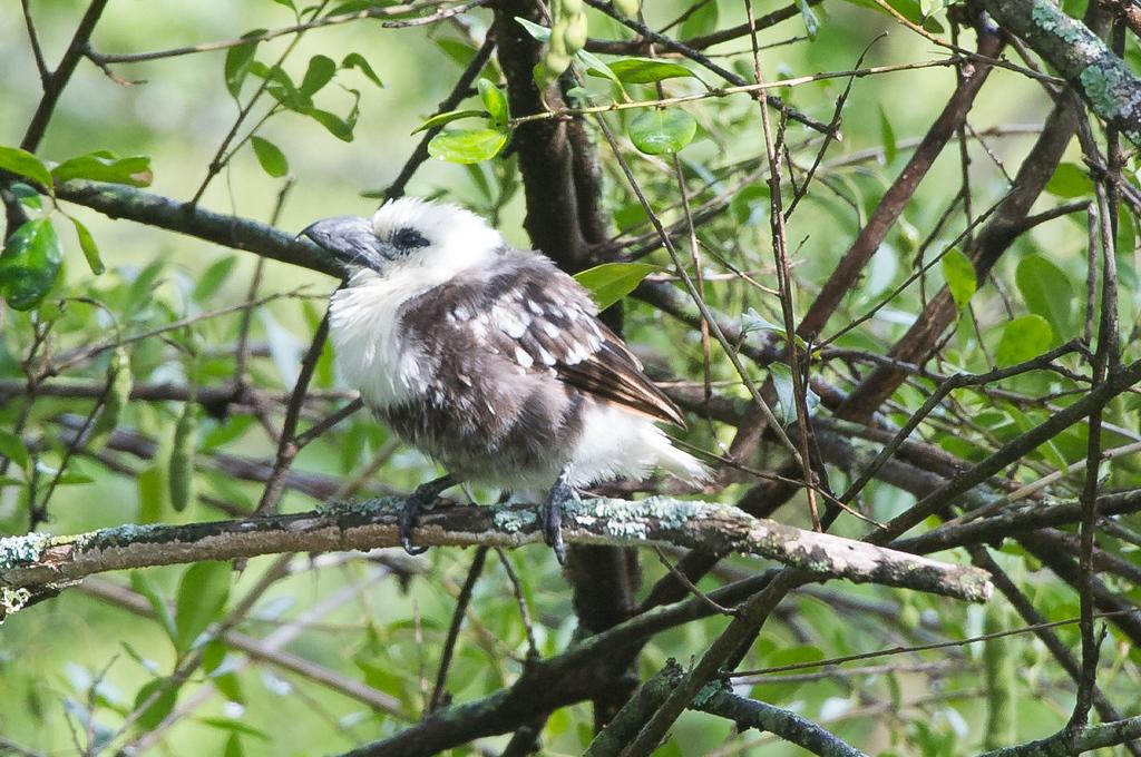 White-Headed Barbet
