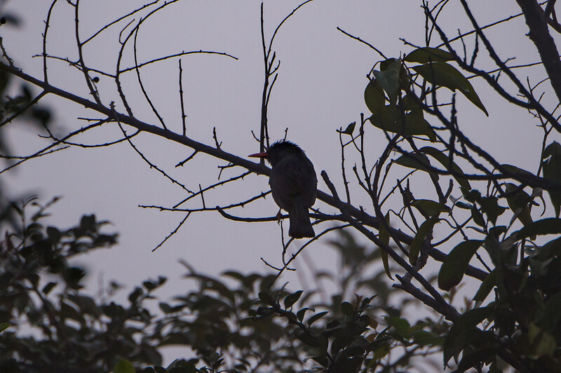 Square-tailed Bulbul