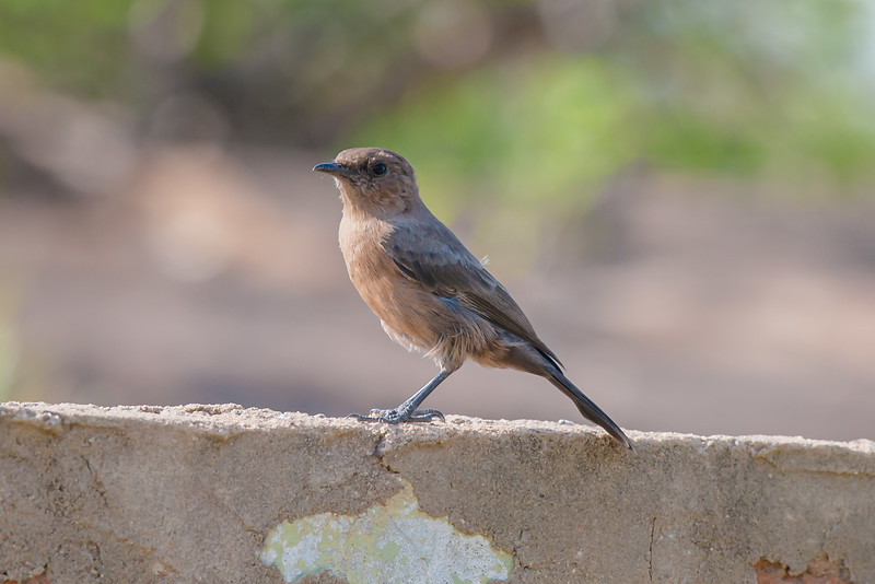 Brown Rockchat