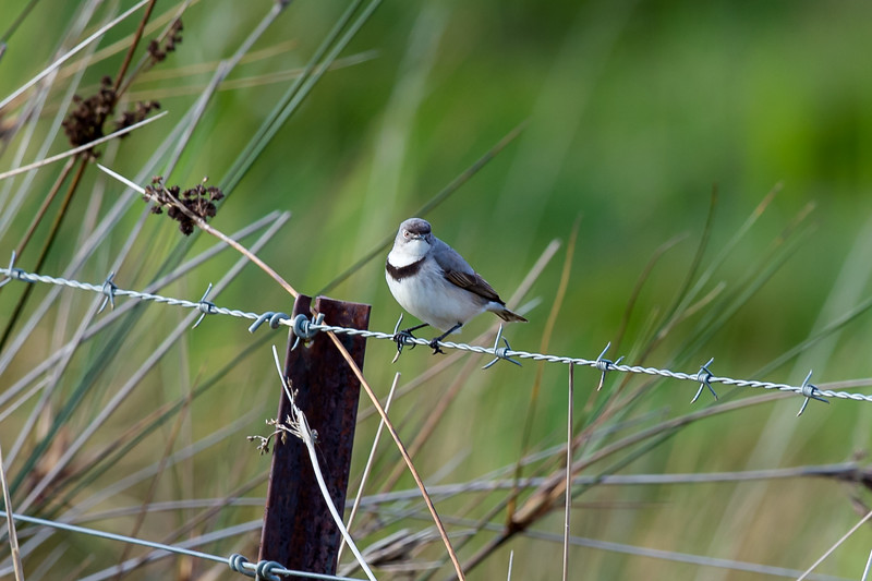 White-fronted Chat (f)