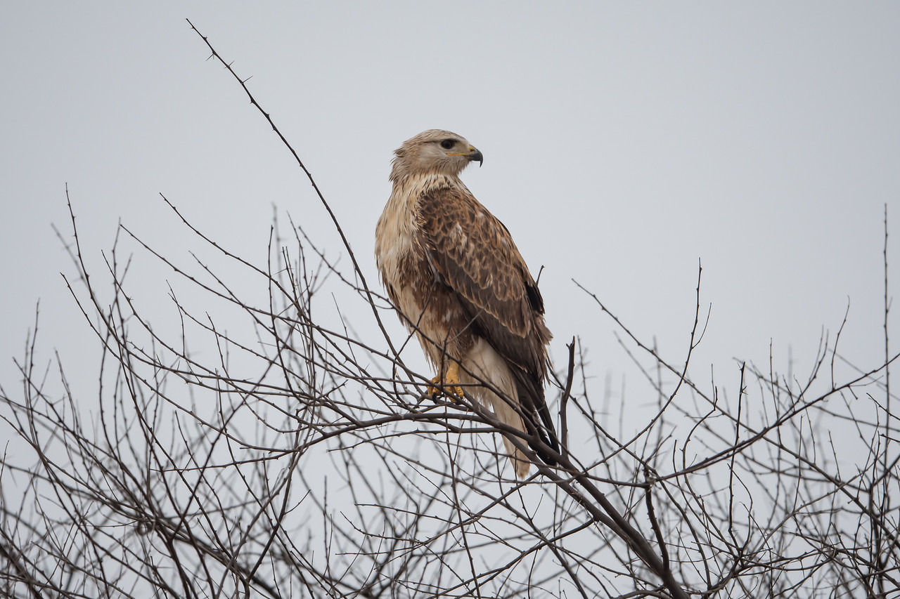 Long-legged Buzzard (juv)