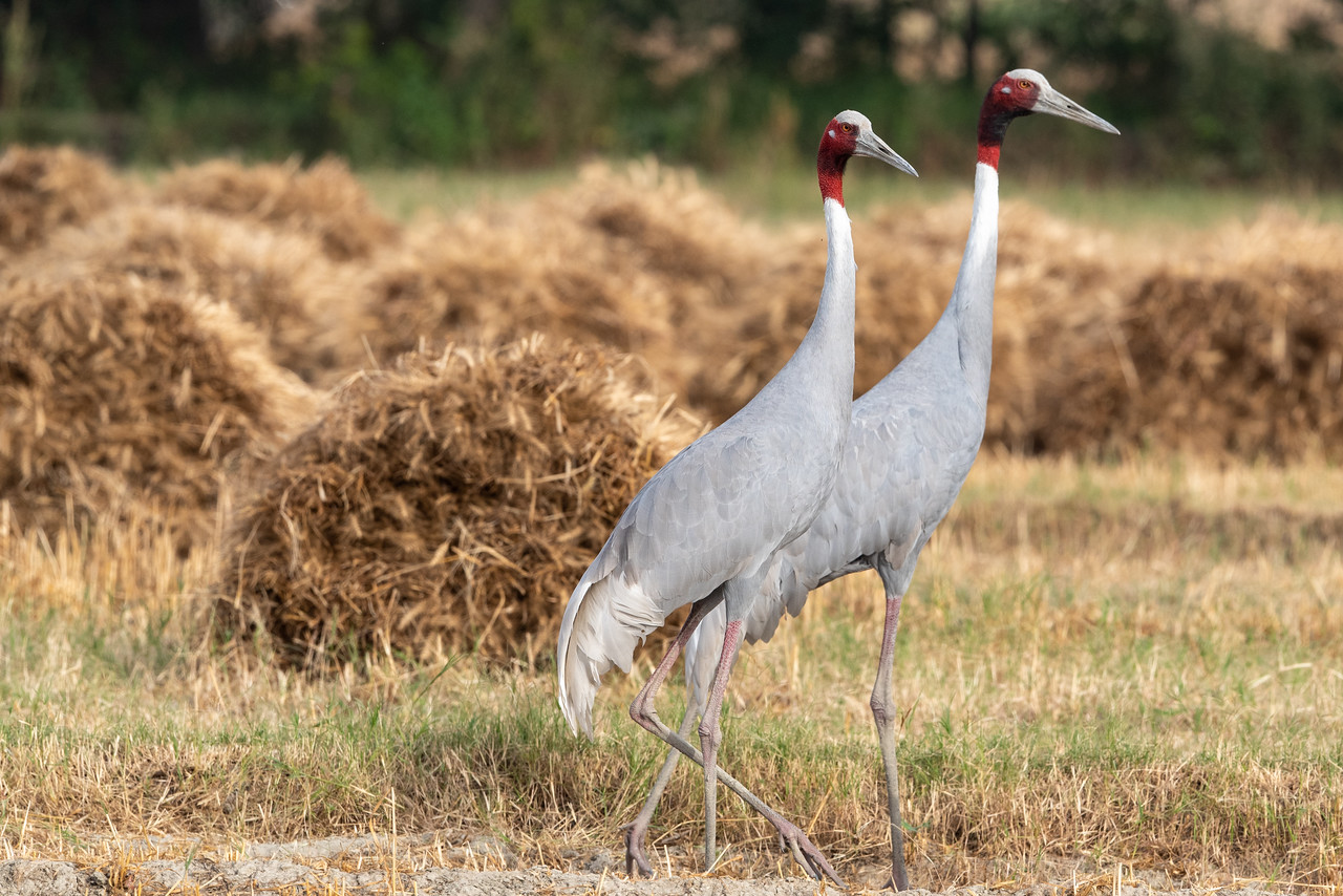 Sarus Crane male & female)