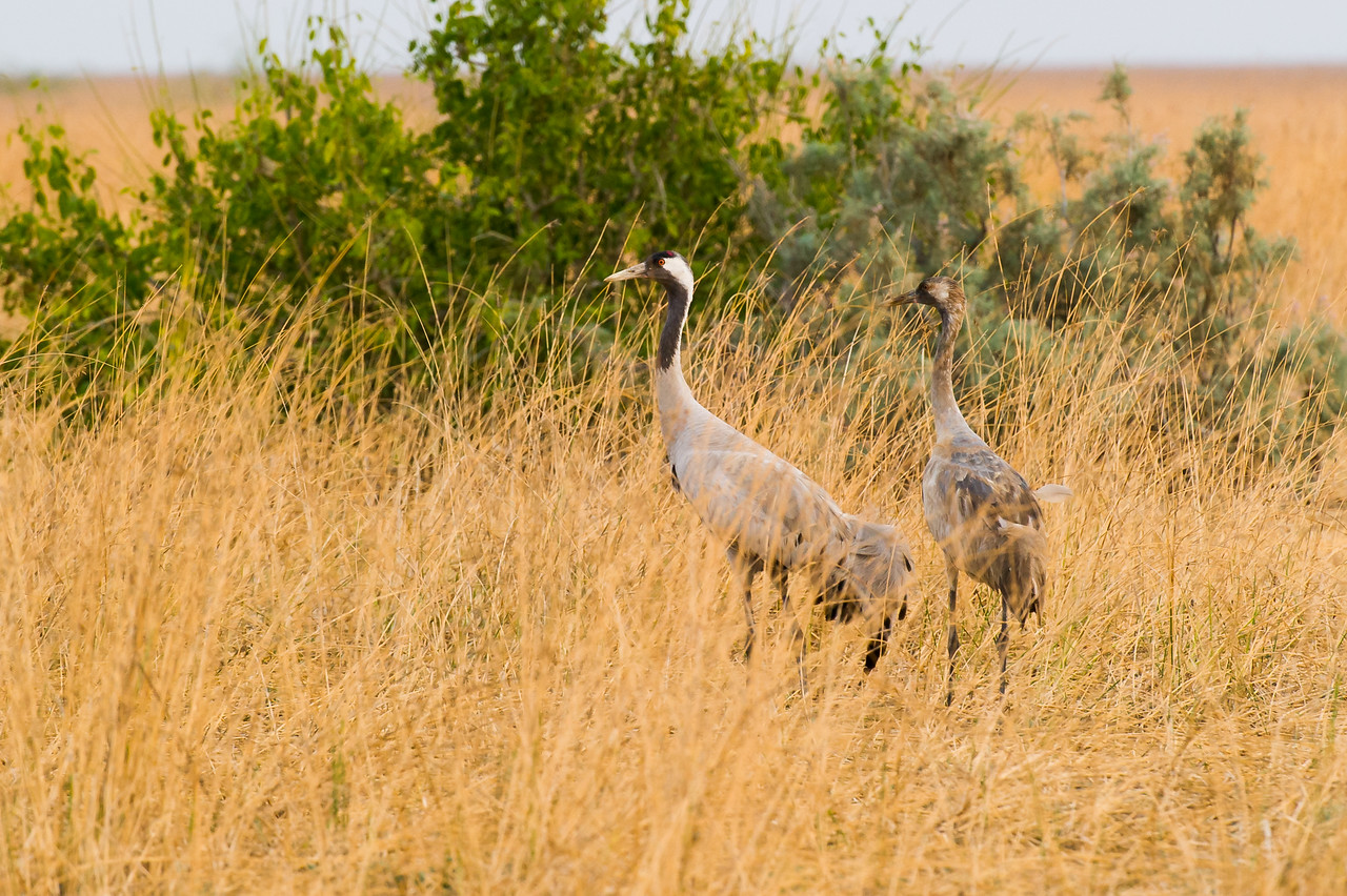 Common Crane w juvenile