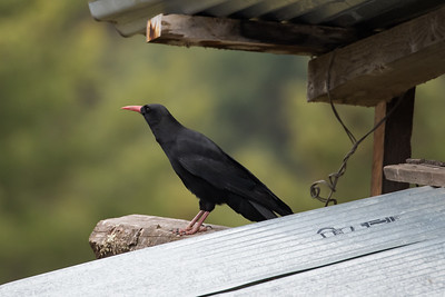 Crows, Choughs & Nutcrackers