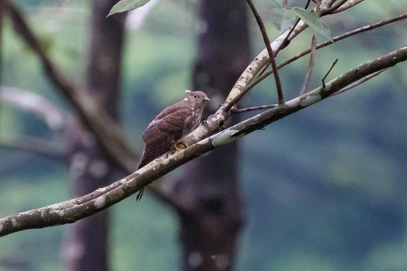 Common Hawk Cuckoo (juv)