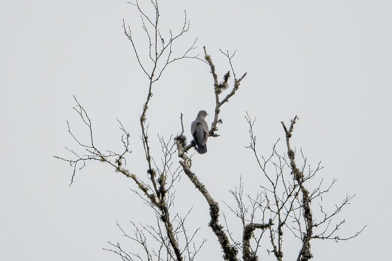 Eurasian Cuckoo