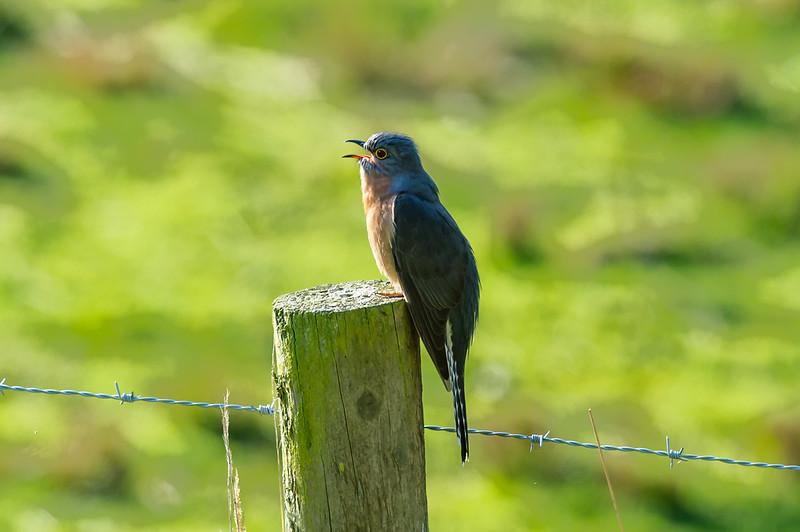 Faintailed Cuckoo