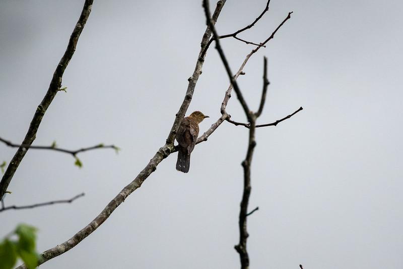 Eurasian Cuckoo (f)