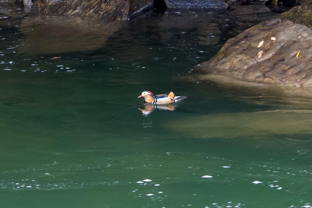 Mandarin Duck Aix galericulata)