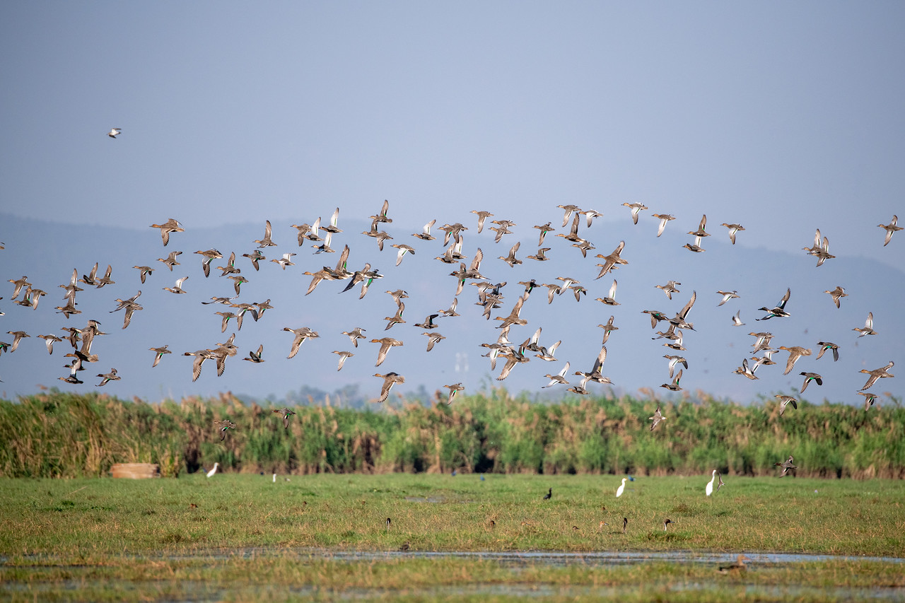 Flock of Gargney, Common Teal, Northern Shoveler & Northern Pintail