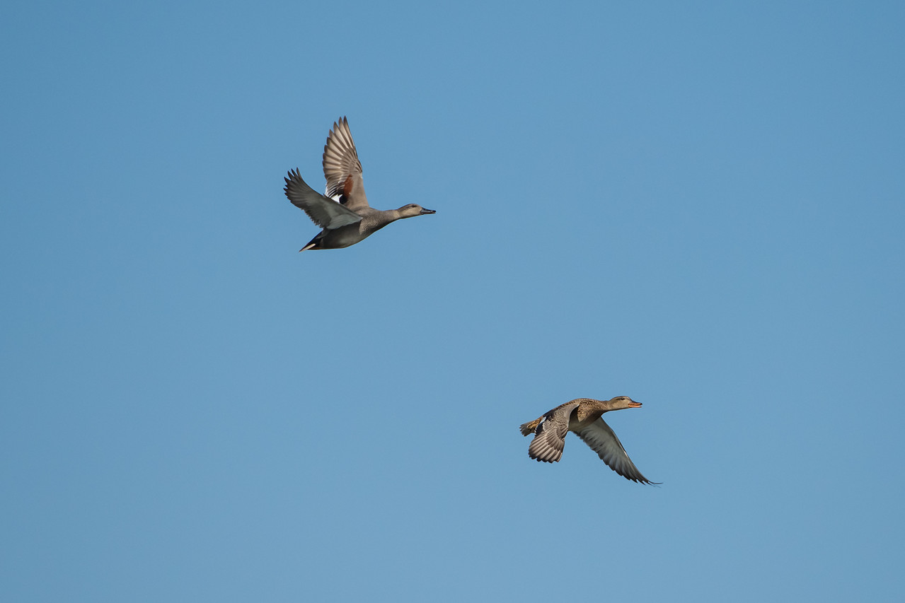 Gadwalls in flight