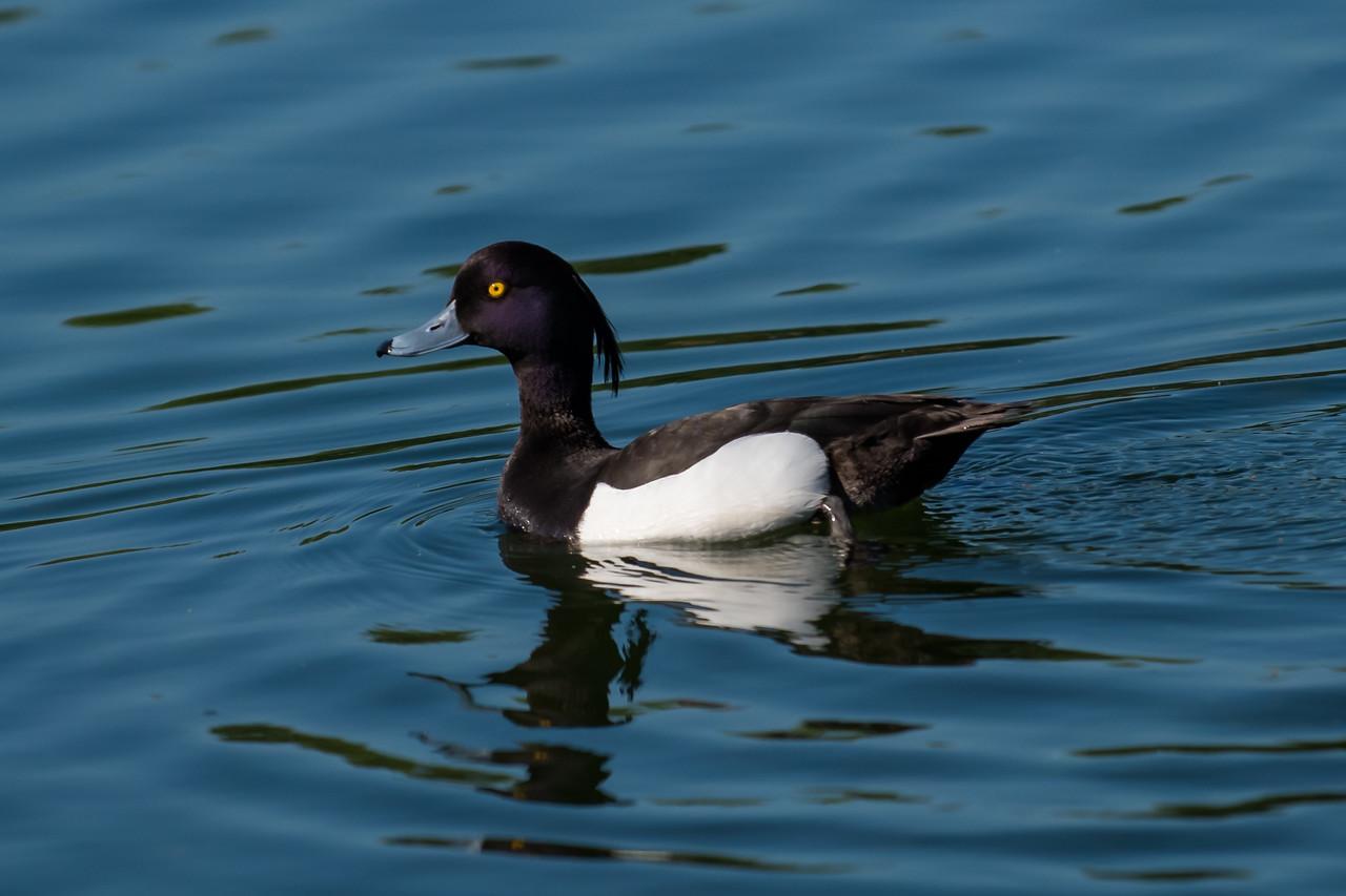 Tufted Duck (Aythaya fuligula)