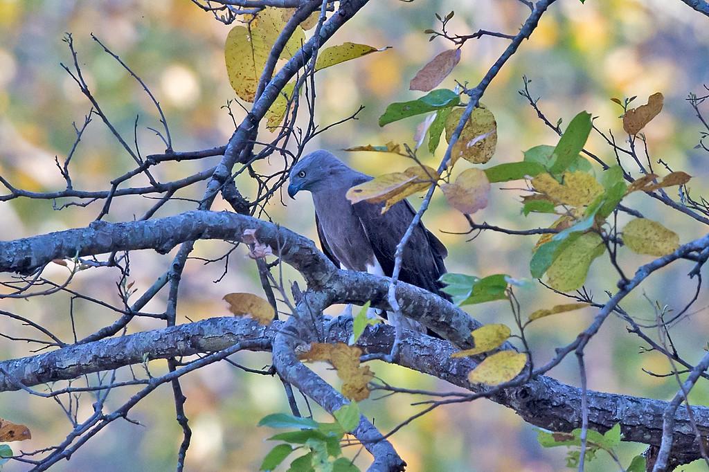 Lesser Fishing Eagle