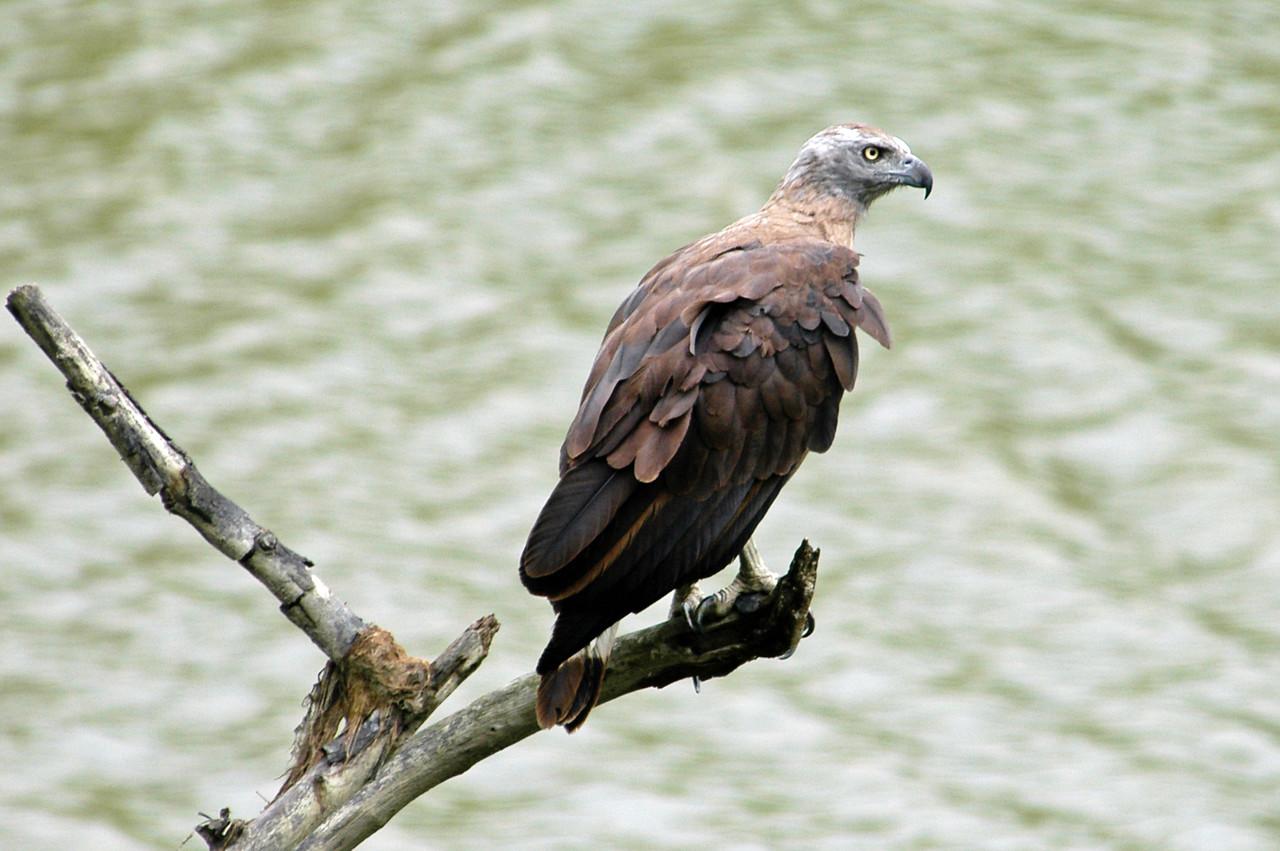 Grey-headed Fishing Eagle