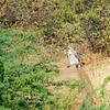 Short-toed Serpent Eagle