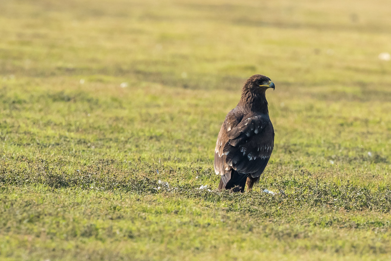 Greater-spotted Eagle