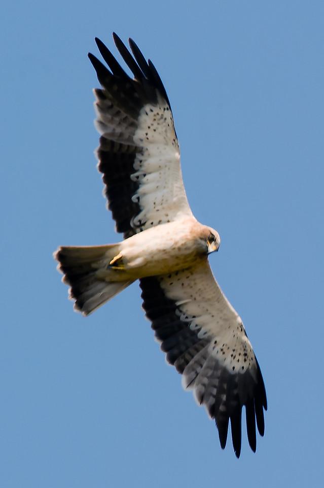 Booted (Hawk) Eagle