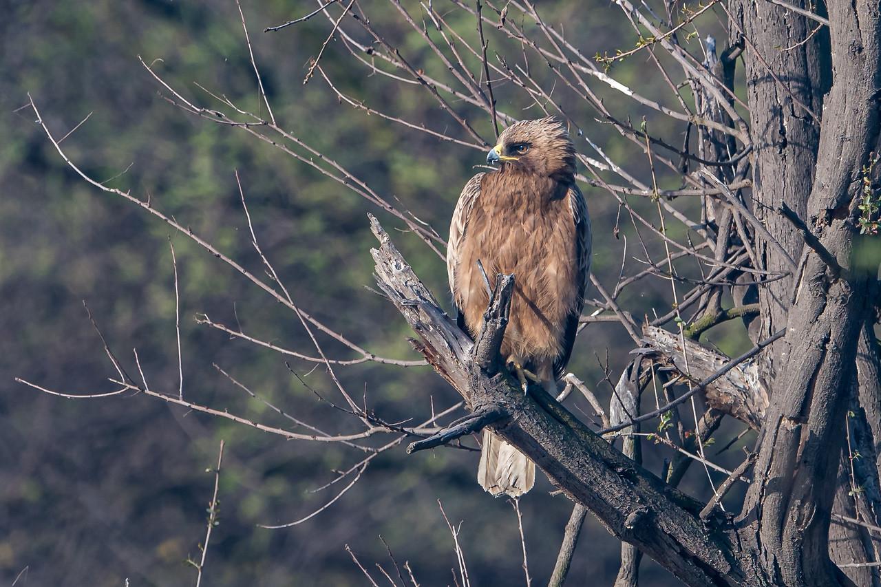 Booted Hawk Eagle (Dark morph)