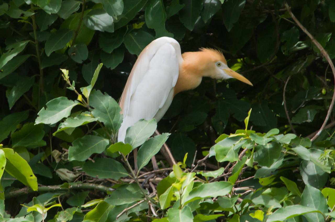 Cattle Egret (br)
