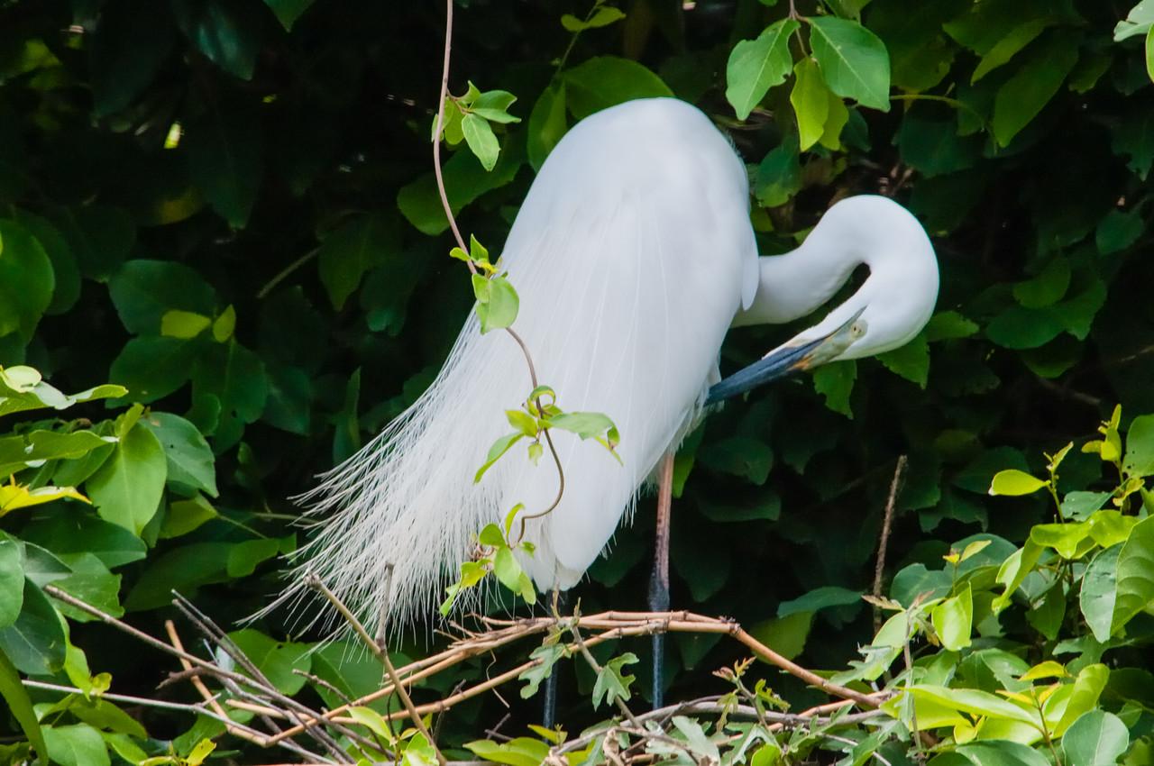 Great Egret (br)