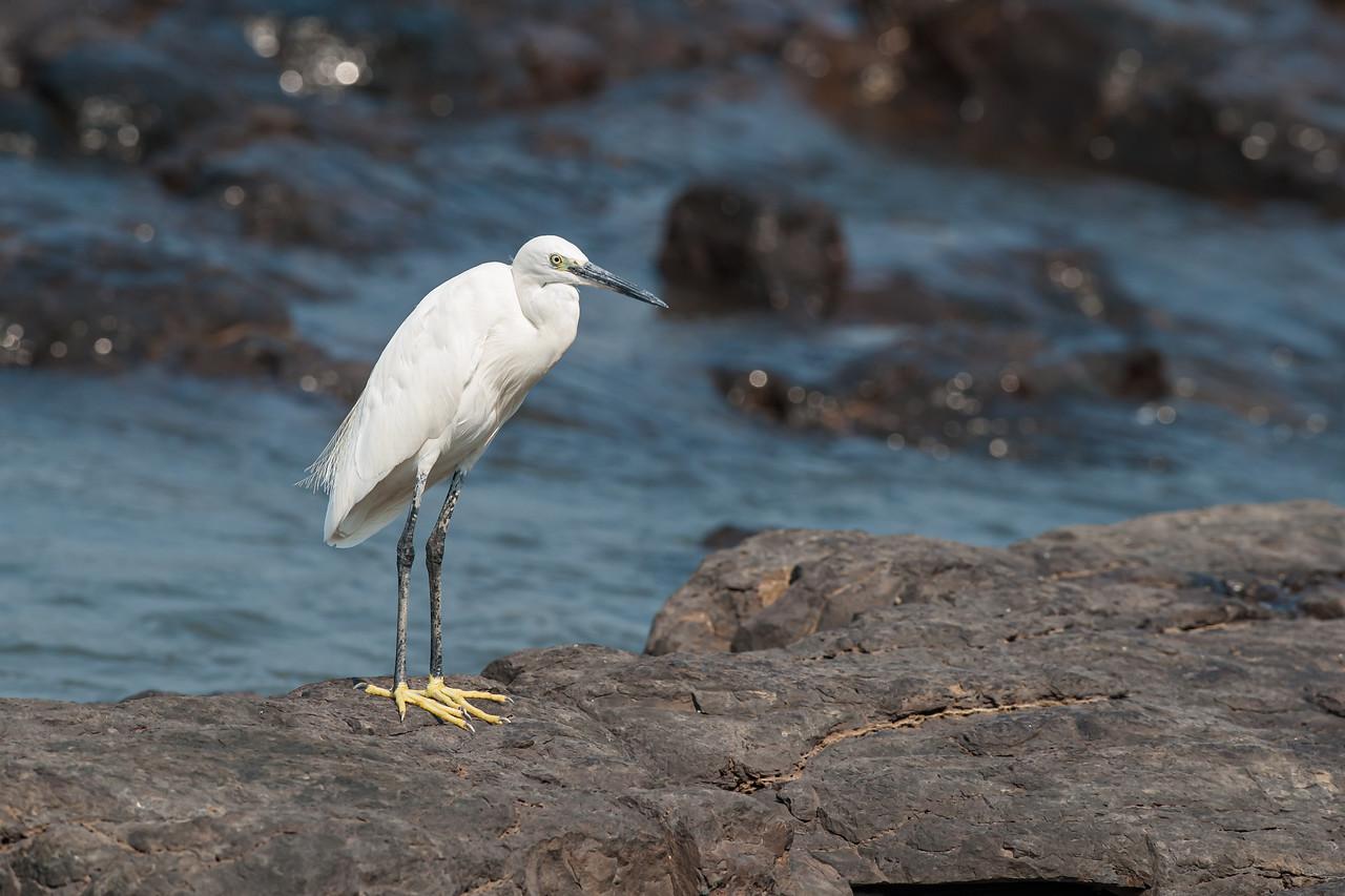 Little Egret (br)