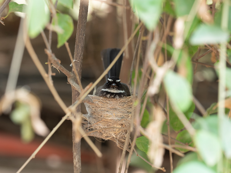 White-spotted Fantail Flycatcher