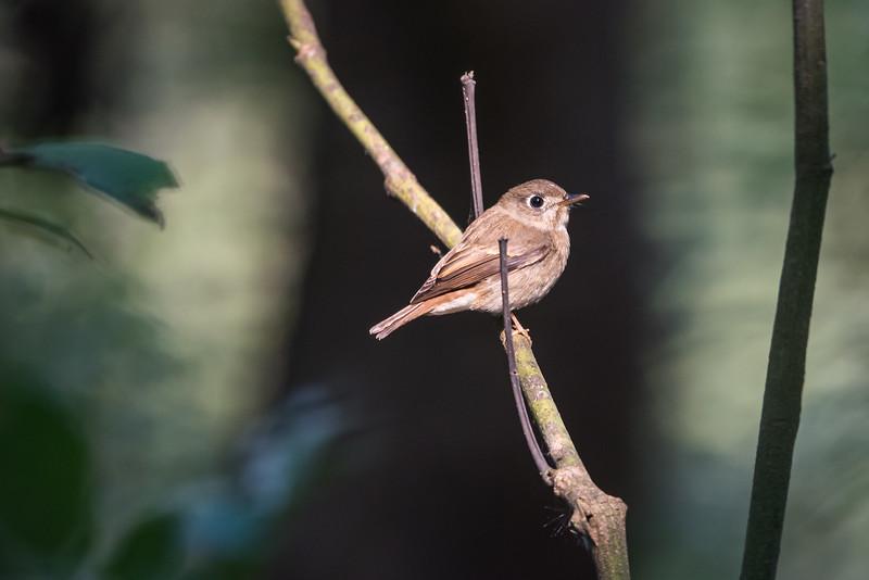 Brown-breasted Flycatcher (muscipapa muttui)