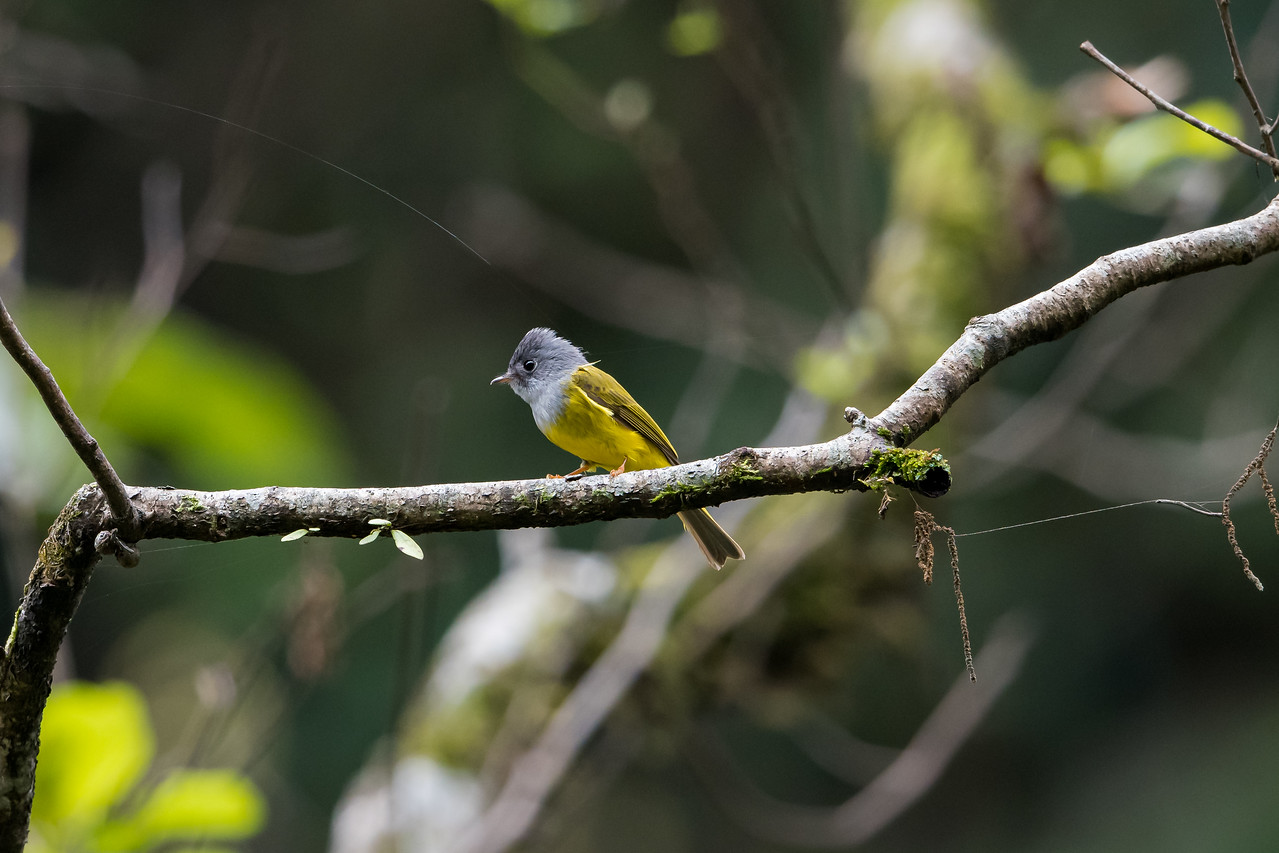 Grey-headed Canary Flycatcher (Culicicapa ceyloensis)