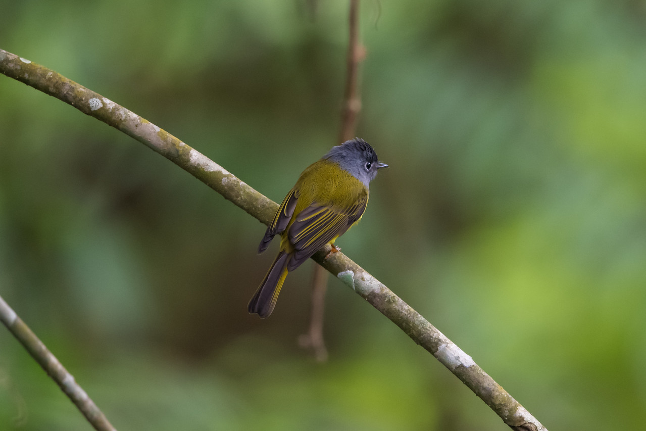 Grey-headed Canary Flycatcher (Calicicapa ceylonensis)