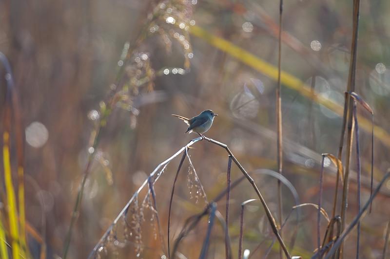 Slaty Blue Flycatcher (f)