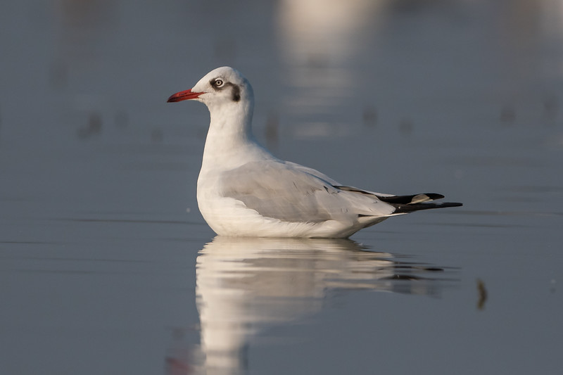 Brown-headed Gull (1stw) (Chroisocephalus brunnicephalus)