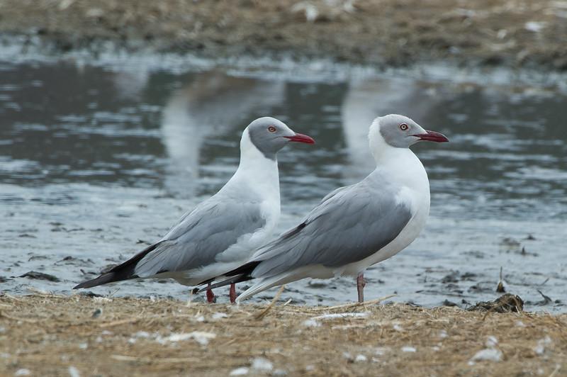 Grey-headed Gull (br)