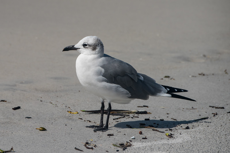 Laughing Gull (nbr)