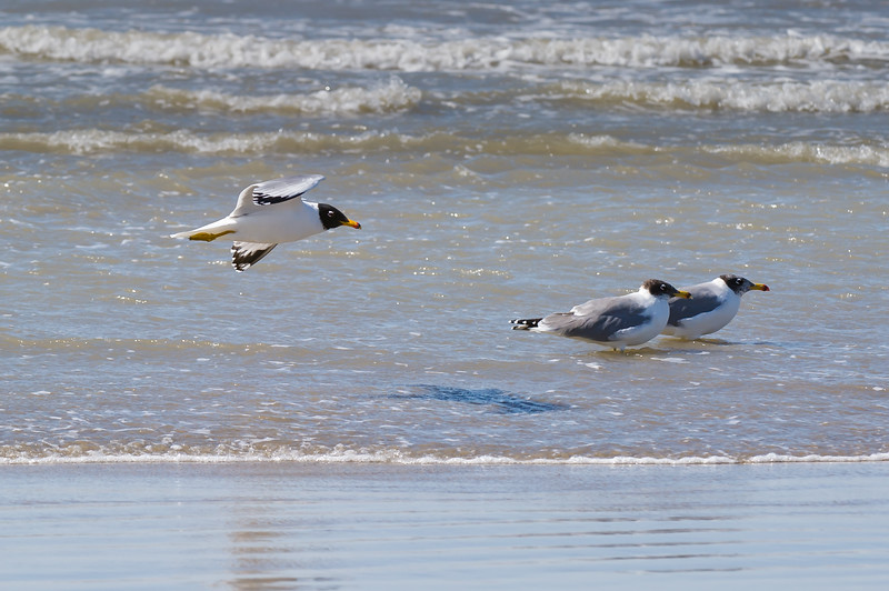 Caspian Gull or Great Black-headed Gull (br)