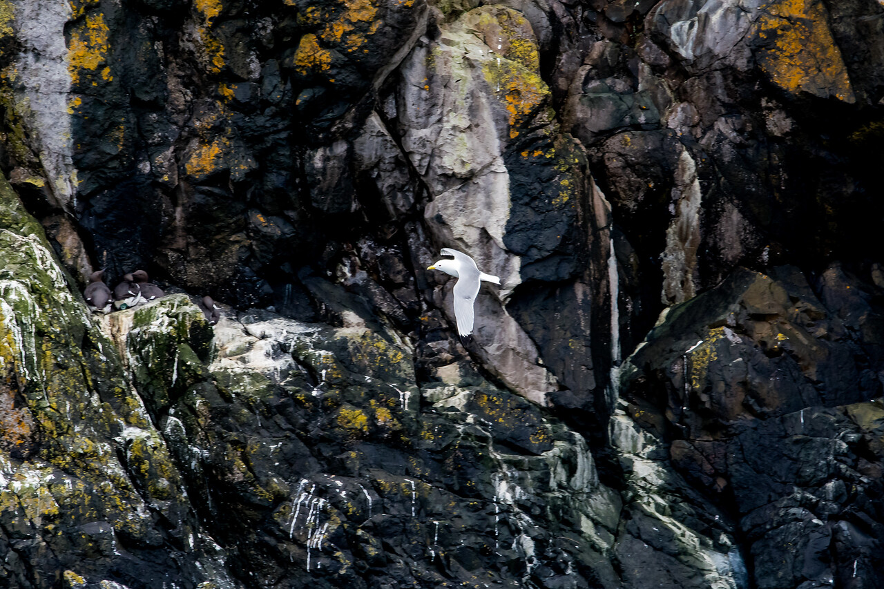 Kittiwake gull (Rissa tridactyla)