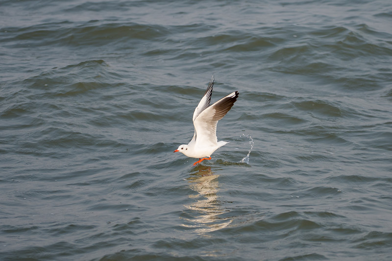 Black-headed Gull (nbr)