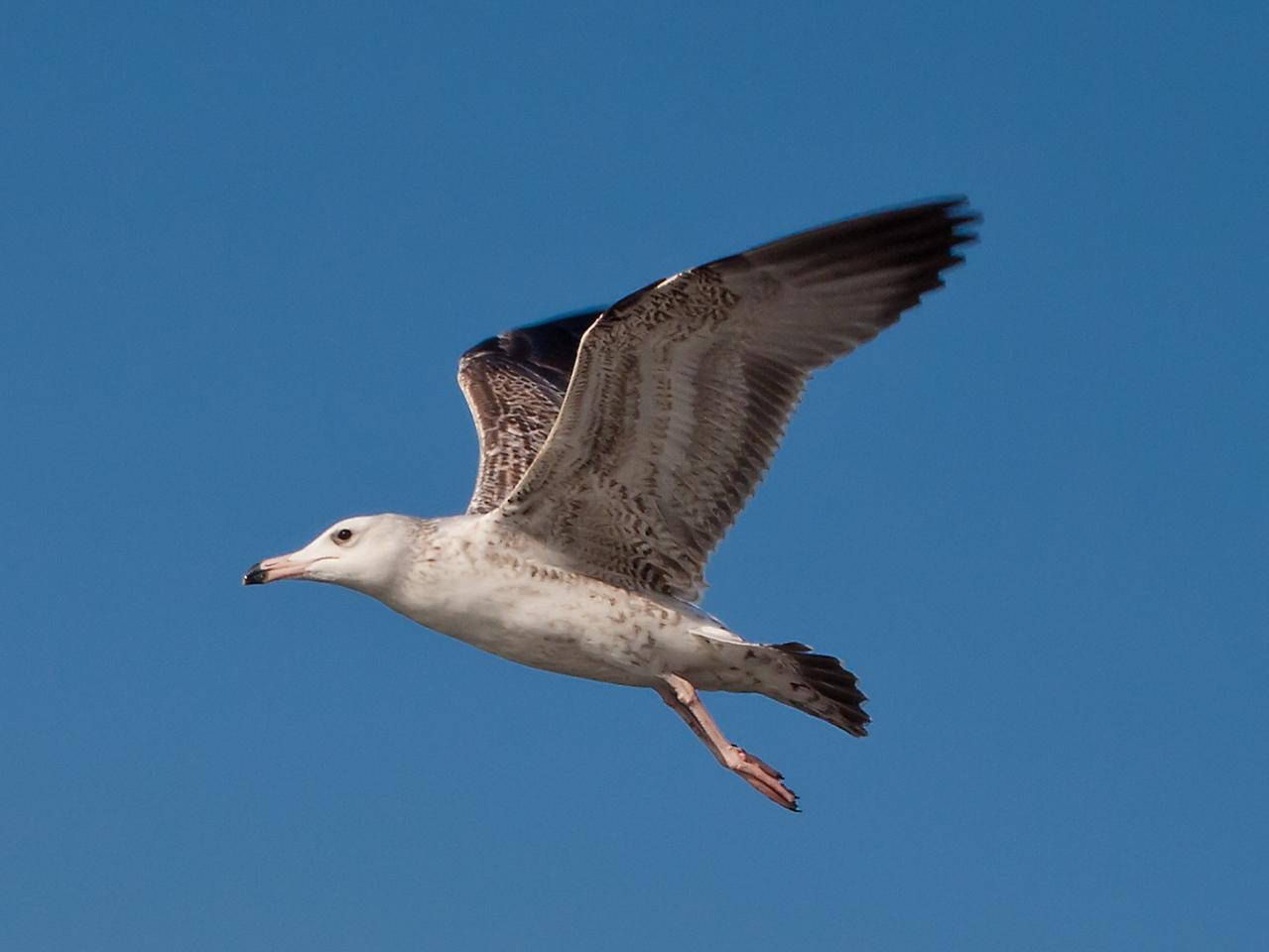 Hueglin's Gull (1st w)