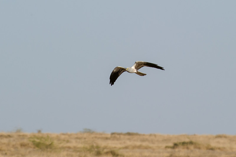 Montague's Harrier