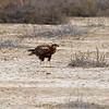 Eurasian March Harrier (f)