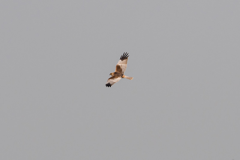 Eurasian Marsh Harrier (m)