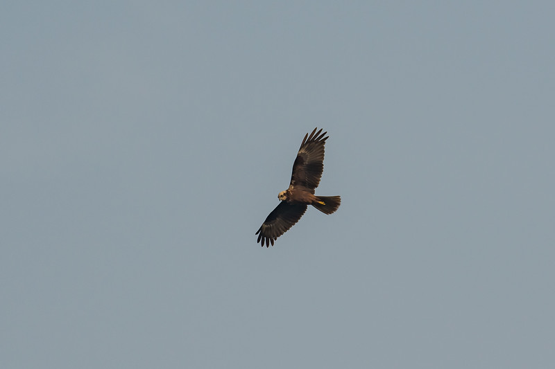 Eurasian Marsh Harrier (f)
